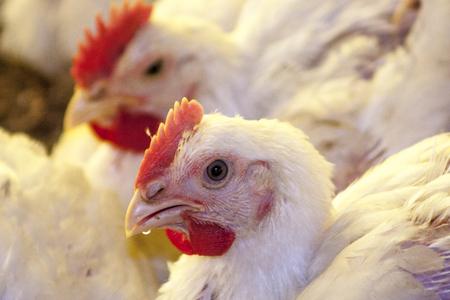 Chicken Farm, Poultry in Santa Catarina state, Brazil ,.