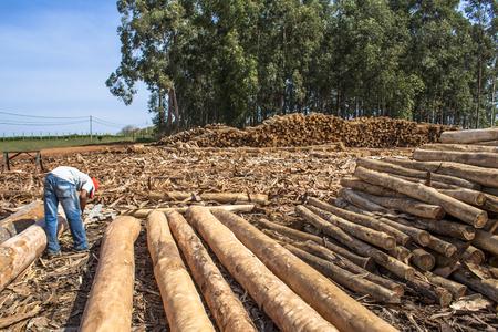 Botucatu, Sao Paulo, Brazil, September 03, 2009 .. Worker Analysing Freshly cut eucalyptus await to be cut logs at the sawmill in Botucatu, SP