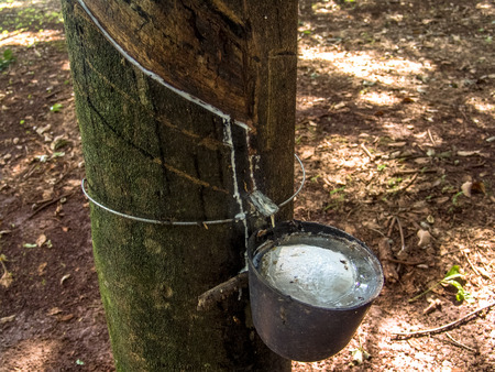 Milky latex extracted from rubber tree (Hevea Brasiliensis) as a source of natural rubber, em Ibiuna, Sao Paulo, Brazil