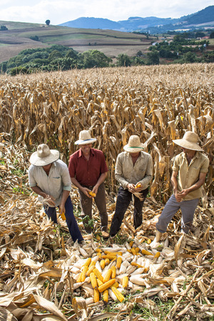 undefined: Iomer�, Santa Catarina, Brazil, April 15, 2009. Family farmer harvests corn in a small farm in Iomerê, Santa Catarina state, south region of Brazil.
