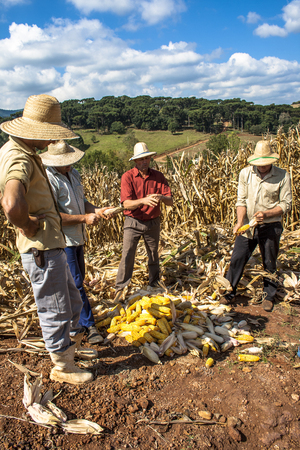 undefined: Iomerê, Santa Catarina, Brazil, April 15, 2009. Family farmer harvests corn in a small farm in Iomerê, Santa Catarina state, south region of Brazil. Editorial