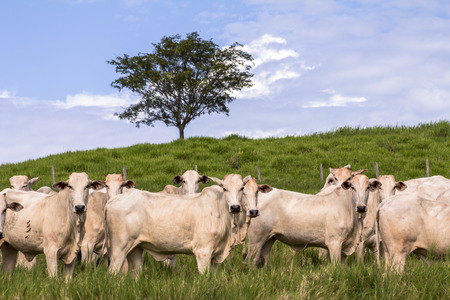 Herd of Nelore cattle grazing in a pasture Stock Photo