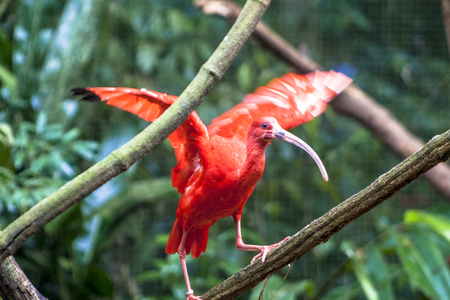 Scarlet ibis, Eudocimus ruber, bird of the Threskiornithidae family, admired by the reddish coloration of feathers, a consequence of crustaceans-based food Imagens