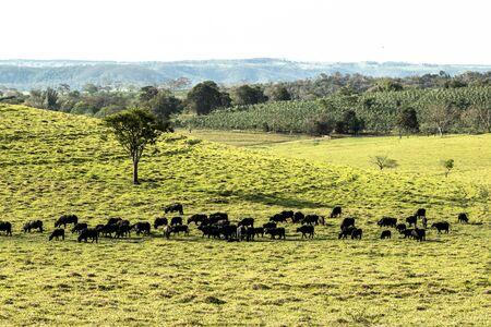 buffalo eating grass on field in Brazil Reklamní fotografie - 135503796