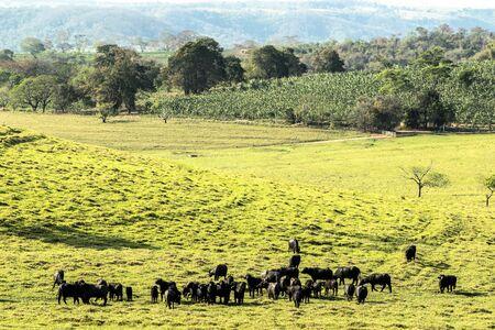 buffalo eating grass on field in Brazil Reklamní fotografie - 135503773