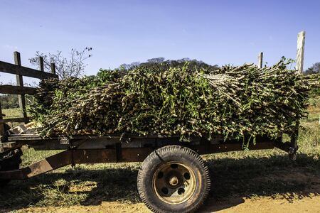 Cassava seedlings to be planted are transported by a tractor on a rural road in Ocaucu County
