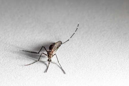 domestic mosquito, scientific name Culex quinquefasciatus in Brazil Stock Photo