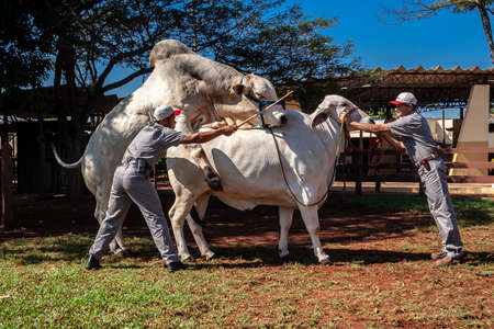 Sertaozinho. Sao Paulo, Brazil, August 07, 2008. Employee at the artificial insemination company CRV Lagoa makes a breeding between a bull and a cow to collect the animal's semen.