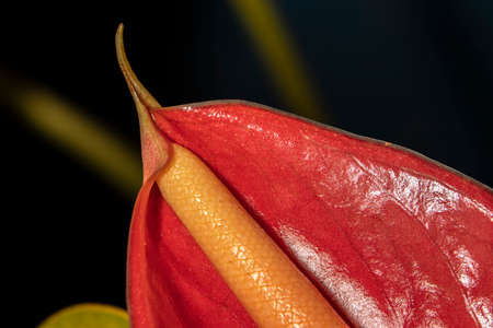 red anturio flowers