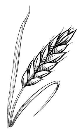 Wheat ears sketch hand drawn
