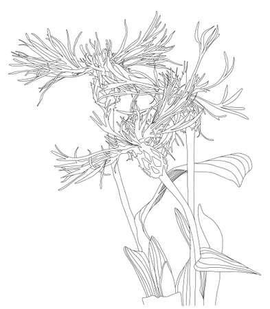 Sketch Floral Botany cornflower black silhouettes Ilustracja