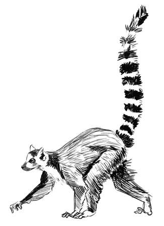 Pencil Sketch Lemur, madagascar