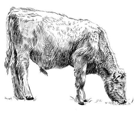 Sketch of calf eating grass. Cow, bull, farm animal. Hand drawn Stock fotó