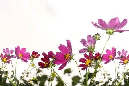 Pink Cosmea flower  photo