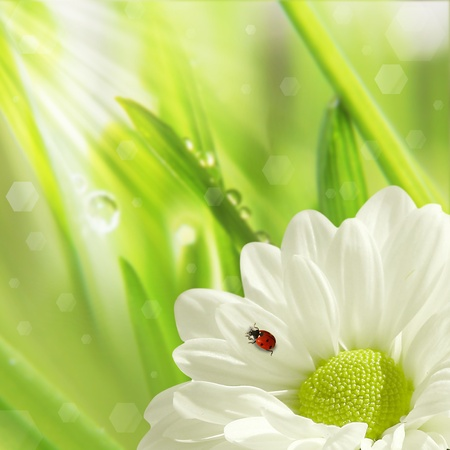 background of morning dew on a spring flower and little ladybug  photo