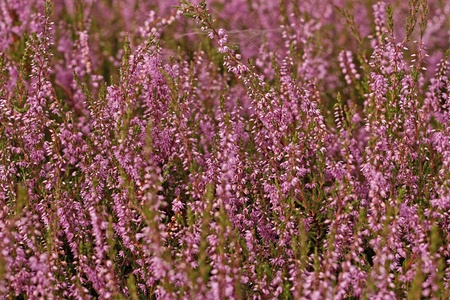 heather: Heather flowers blossom in august