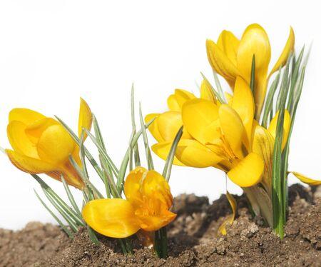 yellow wildflowers: A Bright Yellow Crocus Flowe Stock Photo