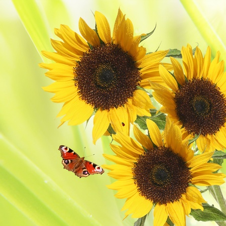 beautiful sunflowers on summer background photo