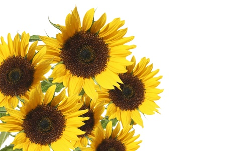 beautiful sunflowers isolated in white