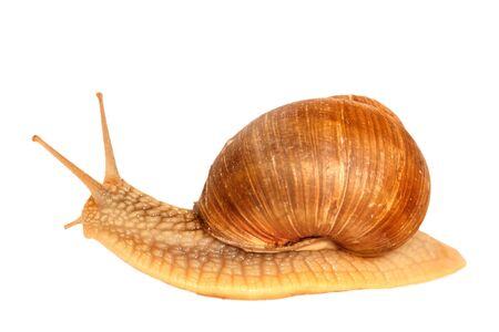 snail on white background Stock Photo - 13334519