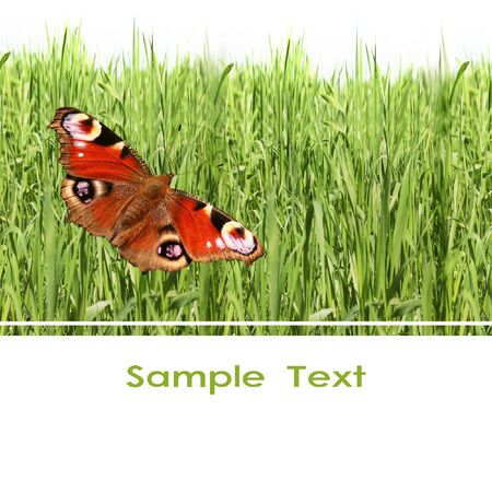 background of a spring grass and butterfly  photo