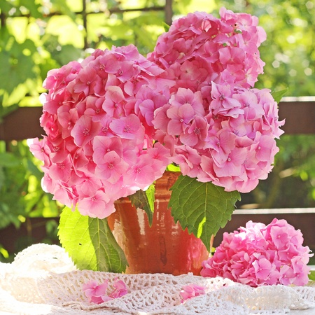 hydrangea in pot photo
