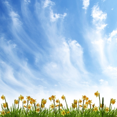 yellow daffodil  and clouds landscape backgrounds  photo