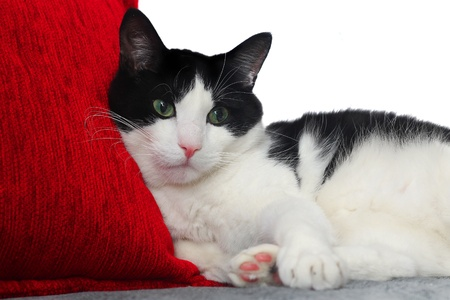 cat With Red Pillow  Stock Photo - 17056732
