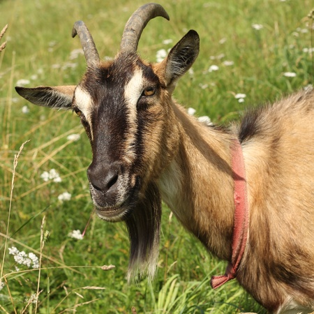 Portrait goat. photo