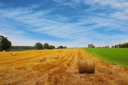 agriculture summer landscape, field wheat  photo