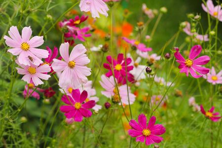 spectacular: The Cosmos Flower