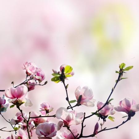 pink magnolia flower on white background