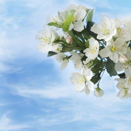 blossom apple tree on blue sky Stock Photo - 19570006