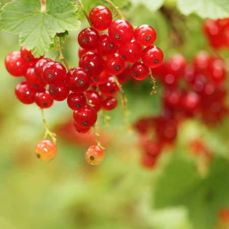 Red currants in the garden d Stock Photo - 20699984