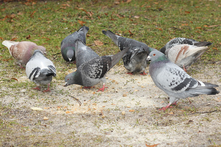Pigeons eating birdseed photo