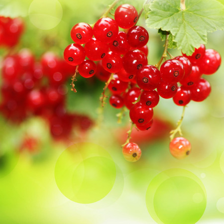 red currants: Red currants in the garden