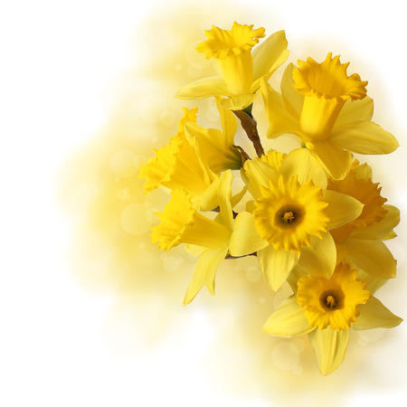 narcissus bouquet isolated on white  photo