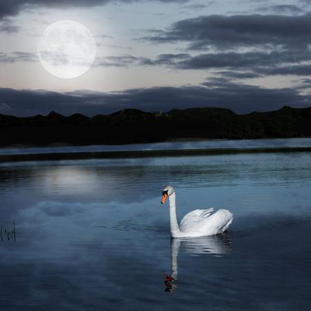cisnes: cisne solitario con la reflexión en la noche