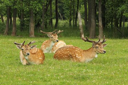 fallow deer: Fallow Deer buck (Dama dama) in forest