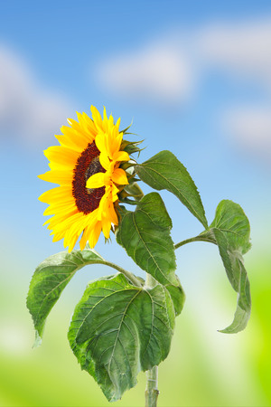 agronomics: a single sunflower of a blue sky with clouds Stock Photo