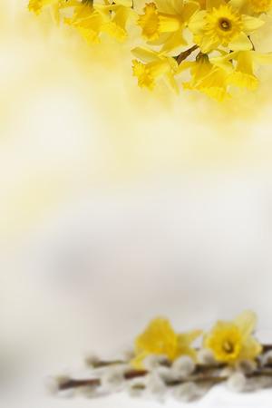 あなたのテキストのための黄色い水仙と背景