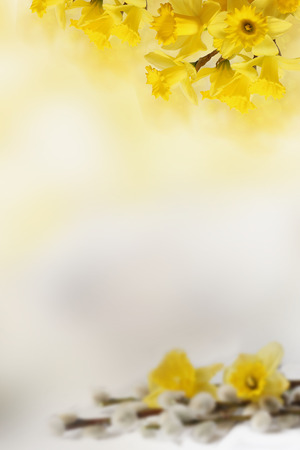 background with Yellow daffodils, for Your text Stock Photo