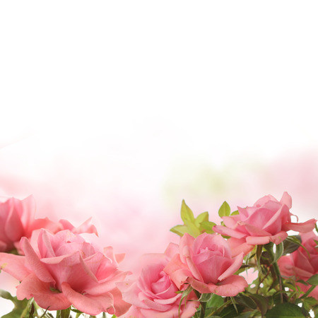 romance rose: Rose