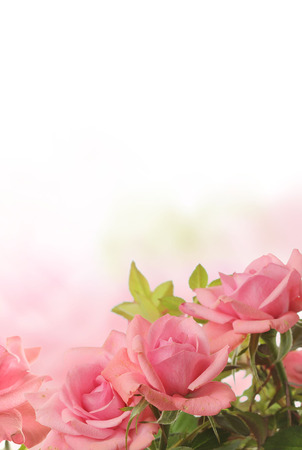 pink roses 版權商用圖片