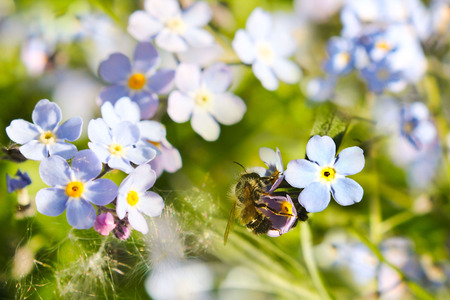 forgot: Field Forget-me-not (Myosotis arvensis) and bee