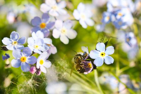 arvensis: Field Forget-me-not (Myosotis arvensis) and bee