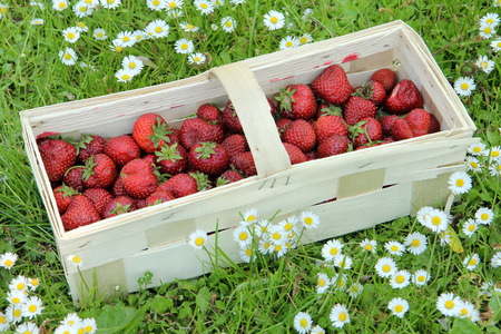 pedicel: Fresh strawberries in a punnet on the grass Stock Photo