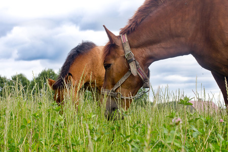 feed: Horses on a summer pasture Stock Photo