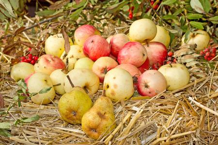 pera: Manzanas frescas de orgánicas y peras