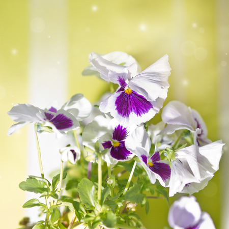 violas: Violas or Pansies
